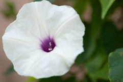 Flor de sino do pandurata de Iponomoea Foto de Stock Royalty Free