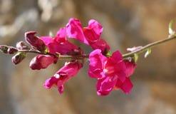 Flor de Snapdragon Fotografía de archivo