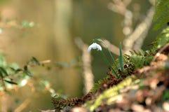 Flor de Snowdrop Fotos de archivo