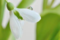 Flor de Snowdrop Foto de archivo