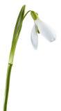 Flor de Snowdrop Imagenes de archivo