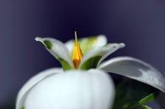 Flor de Snowdrop fotografia de stock