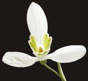 Flor de Snowdrop Fotos de archivo libres de regalías