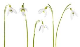 Flor de Snowdrop aislada Fotos de archivo libres de regalías