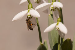 Flor de Snowdrop con la abeja de la miel Imagen de archivo