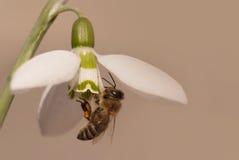 Flor de Snowdrop con la abeja de la miel Imagen de archivo libre de regalías