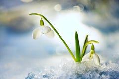 Flor de Snowdrop en nieve de fusión Foto de archivo