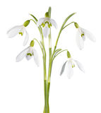 Flor de Snowdrop isolada Fotografia de Stock Royalty Free