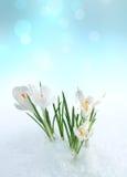 Flor de Snowdrop na neve Fotografia de Stock