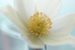 A flor de Snowdrop na neve branca do estúdio, foco macio, aperfeiçoa para o cartão Fotografia de Stock