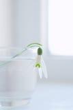 Flor de Snowdrop no vidro foto de stock