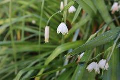 Flor de Snowdrop que floresce no wintergarden fotografia de stock royalty free