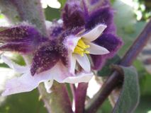 Fruit tree flower Solanum quitoense stock photography