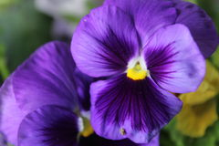 Flor de Spangy Foto de Stock Royalty Free