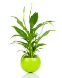 Flor de Spathiphyllum Fotos de Stock Royalty Free