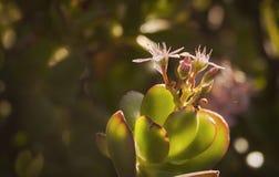 Flor de Spekboom Imagenes de archivo