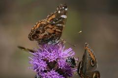 Flor de Spicata del Liatris con las mariposas Fotografía de archivo