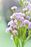 Flor de Statice en el florero Imágenes de archivo libres de regalías