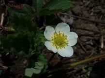 Flor de Strawbery fotos de stock