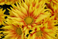 Flor de Sun Imagem de Stock