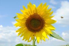 Flor de Sun Imagenes de archivo