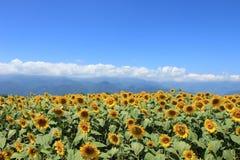 Flor de Sun Imagen de archivo