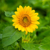 Flor de Sun Foto de Stock