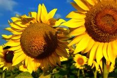 Flor de Sun Foto de Stock Royalty Free