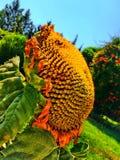 Flor de Sun Fotografia de Stock