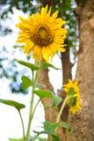 Flor de Sun Fotos de archivo