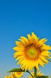 Flor de Sun Foto de archivo libre de regalías