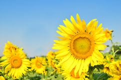 Flor de Sun Imagen de archivo libre de regalías