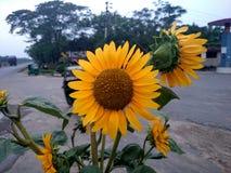 Flor de Sun Imagem de Stock Royalty Free