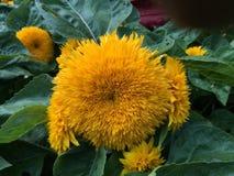 Flor de Sun Imágenes de archivo libres de regalías