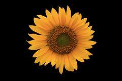 Flor de Sun fotografía de archivo libre de regalías