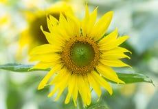 Flor de Sun com aranha pequena Imagens de Stock Royalty Free