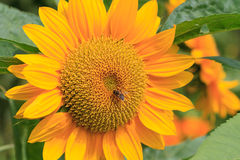 Flor de Sun con la abeja Fotos de archivo