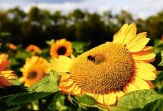 Flor de Sun con una abeja Fotografía de archivo