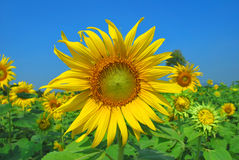 Flor de Sun contra un cielo azul foto de archivo