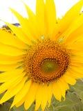 Flor de Sun da luz do sol no amarelo muito imagens de stock royalty free