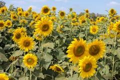 Flor de Sun de encontro a um céu azul Fotos de Stock Royalty Free