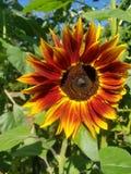 Flor de Sun del tiempo de verano foto de archivo libre de regalías
