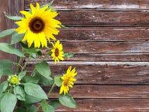 Flor de Sun delante de tablones de madera viejos Imagen de archivo libre de regalías
