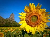 Flor de Sun em Tailândia Fotografia de Stock Royalty Free