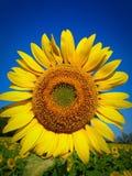 Flor de Sun em Tailândia Imagem de Stock Royalty Free