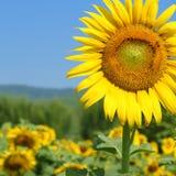 Flor de Sun en campo Imagen de archivo