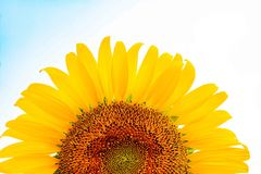 Flor de Sun en el fondo blanco Imagen de archivo