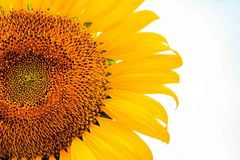 Flor de Sun en el fondo blanco Fotos de archivo