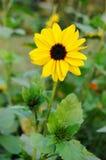 Flor de Sun en el jardín Foto de archivo libre de regalías