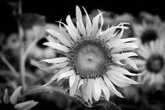 Flor de Sun en el jardín blanco y negro Foto de archivo libre de regalías